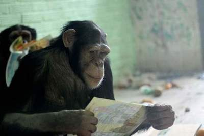 In the Krasnoyarsk zoo chimpanzees are interested in books