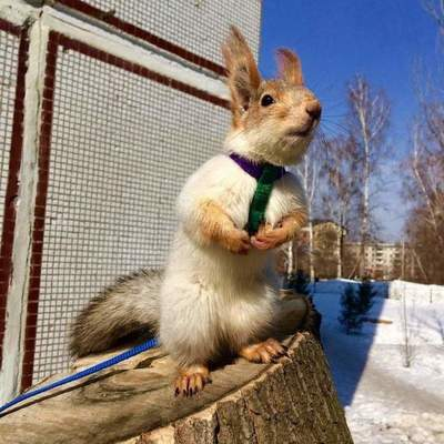 Rescued squirrel became a new member of the family of Novosibirsk